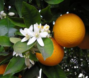オレンジの実とはな