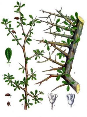 ミルラの植物画